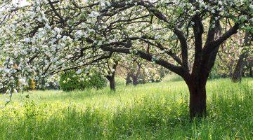 WEG-Anlage: Beseitigungsanspruch bzgl. eines Apfelbaums