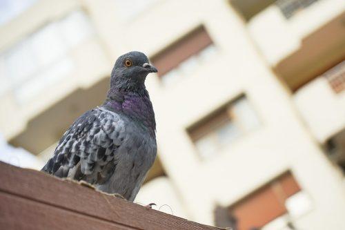 Tauben füttern – fristlose Mieterkündigung