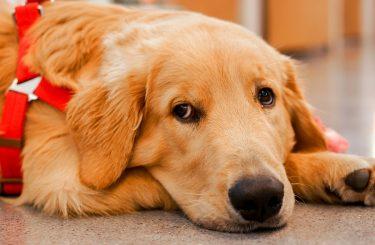 Hund mit Wasserkopf ein Sachmangel