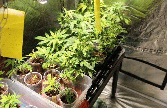 Fristlose Mietvertragskündigung wegen Marihuana-Anbaus in Mietwohnung