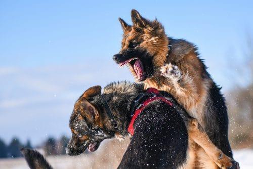 Bissverletzungen unter Hunden – Tiergefahr und Verursachungsbeiträge Tierhalter