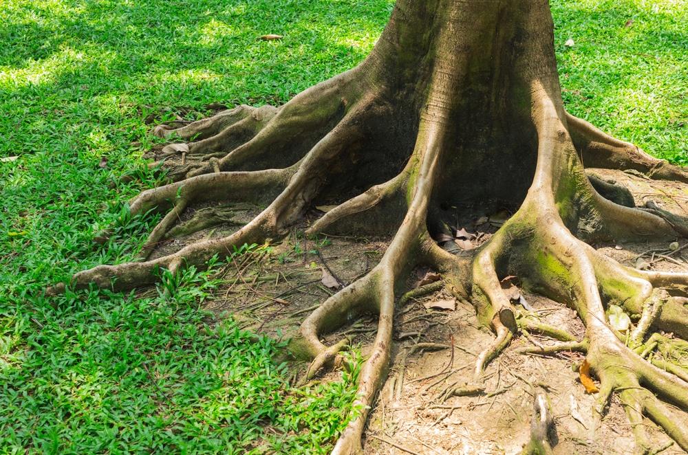 Überwuchs von Wurzeln über Grundstücksgrenze – Unterlassungsanspruch