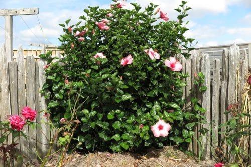 Entfernungsanspruch von Hibiskuspflanzen bzw. einer Tanne an Grundstücksgrenze