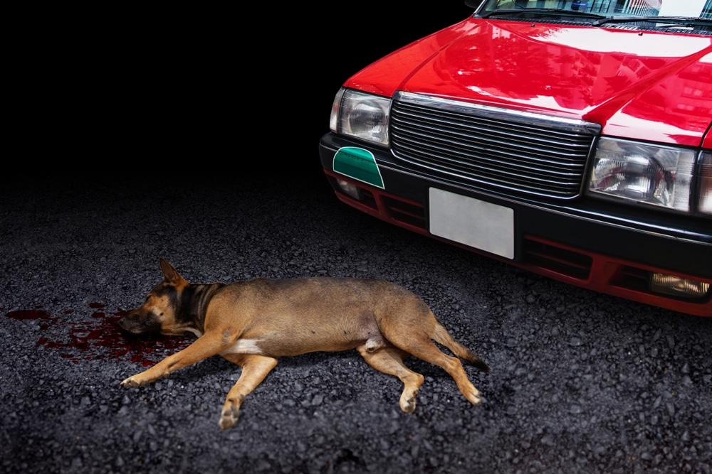 Fahrzeugkollision eines Fahrzeugs mit einem Hund – Haftungsabwägung