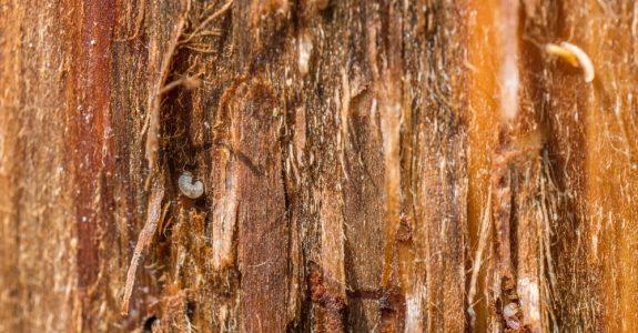 Grundstückskaufvertrag - arglistigen Verschweigens des Hausbockbefalls eines Holzblockhauses