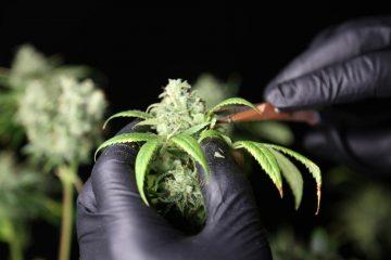 MPU-Gutachten – Trennungsvermögen bei gelegentlichem Cannabis-Konsum