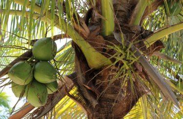 Reiseveranstalterhaftung – angebliche Verletzung eine herabfallende Kokosnuss