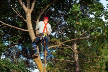 Fällung Grenzbaum – Verschulden bei Fällerlaubnis durch vermeintlichen Grundstückseigentümer