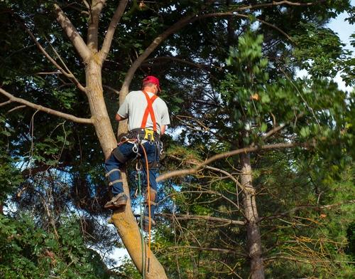 Fällung Grenzbaum - Verschulden bei Fällerlaubnis durch vermeintlichen Grundstückseigentümer