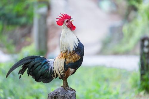 Unterlassungsanspruch gegen das nächtliche Krähen eines Hahnes