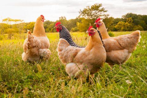 Schadensersatz für die Tötung eines TV-Huhns