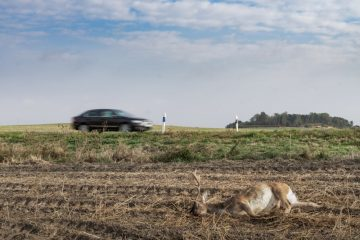Verkehrsunfall – Wildunfall auf Landstraße – hochgeschleudertes Damwild