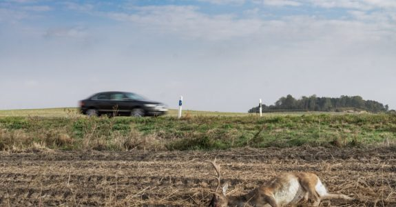 Verkehrsunfall - Wildunfall auf Landstraße - hochgeschleudertes Damwild