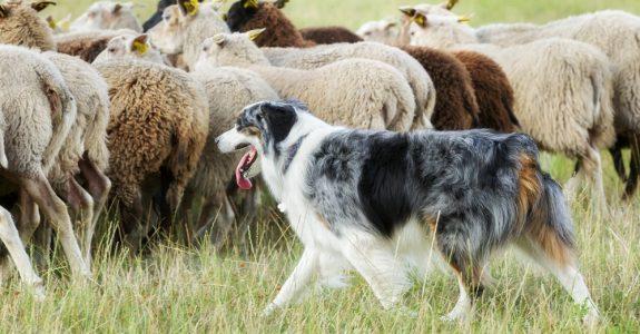 Tierhalterhaftung für Herdenschutzhunde