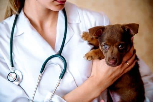 Tierkaufvertrag: Parvovirose infizierten Welpen - Schadensersatz