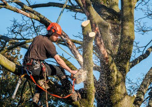 Überhängende Äste dürften abgeschnitten werden auch wenn der Baum abstirbt